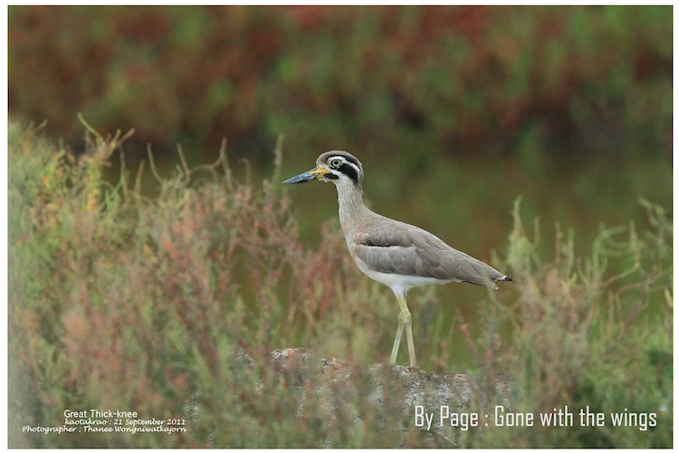 Great Thick-knee - Thanee Wongniwatkajorn copy